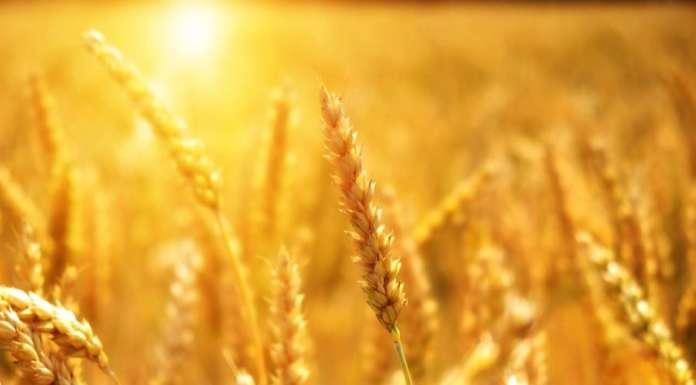 grano campo bio