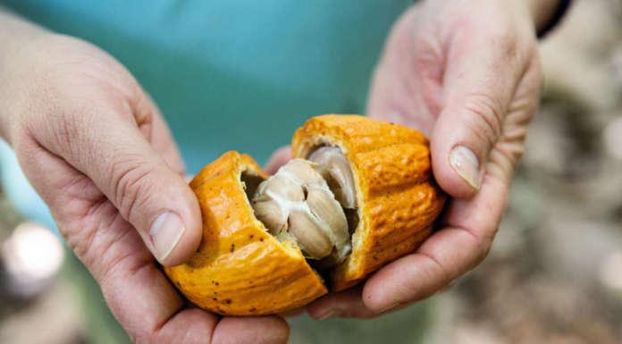 cabosse di cacao Senorita