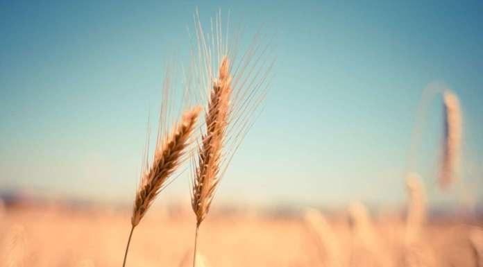 grano generica